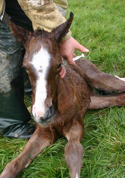 How to Vaccinate Newborn Foals