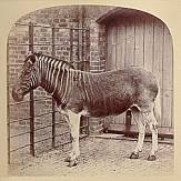 A quagga, pictured at London Zoo about 1870. DNA analysis has shown that the Quagga was a subspecies of the Plains Zebra (Equus Quagga). The quagga was hunted to extinction in the late 1800s.
