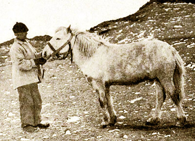 Another example of a meat-eating equine was Socks, Sir Ernest Shackleton's Manchurian pony, who holds a special place in equestrian history for two reasons. No other horse ever came as close to reaching the South Pole and he is the first recorded horse to have shared a meat-based meal with his master, in 1908.