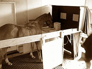 'Red', the pony who helped develop the equipment. Red was on site to test each part of the equipment as it was built. Major alterations were made to the design if Red didn't approve. We wanted equipment that all horses would be comfortable with, as Red has a tendency to over-react and worry about things he was an ideal helper.
