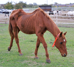 One of the horses seized from a property near Crandall.