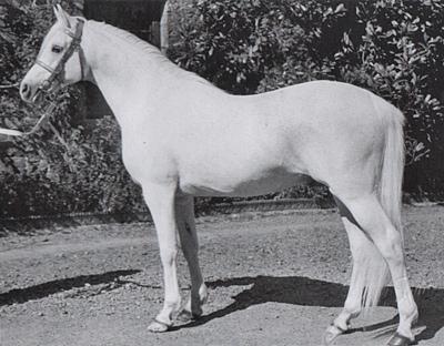 The influential arabian stallion Naseel.
