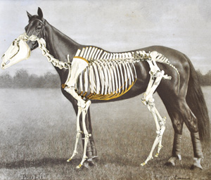 phar-lap-skeleton