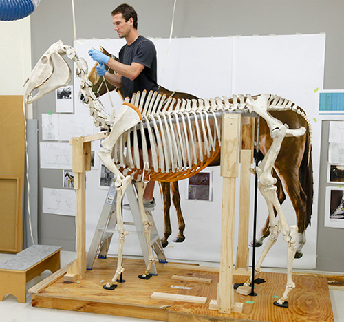 The finishing touches go on Phar Lap's skeleton