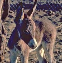 burro-foal