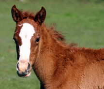 foal-vaccination