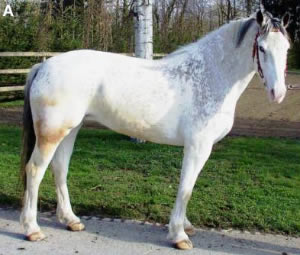 A Franches-Montagnes mare with little residual pigmentation.