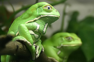 Dermorphin is found on the skin of a frog called Phyllomedusa sauvagei, or the Waxy Monkey Leaf Frog.