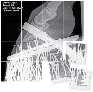 Lateral radiographic view of the front left foot of a sored horse. Notice the large number of nails, which were added to increase the weight carried by the hoof and accentuate the gait, but can also place pressure on the sole, causing pain. Courtesy of USDA