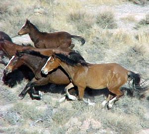 Wild horses in Nevada. © BLM
