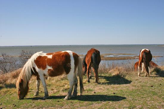 Assateaguehorses1