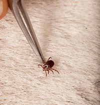 A cayenne tick is removed from a horse.