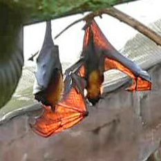 A large flying fox (Pteropus vampyrus)