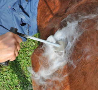 Freeze branding a young horse.