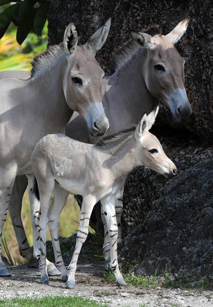somali-wild-ass-16