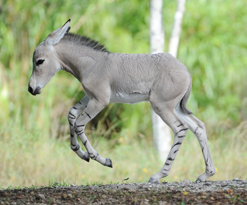 somali-wild-ass-27