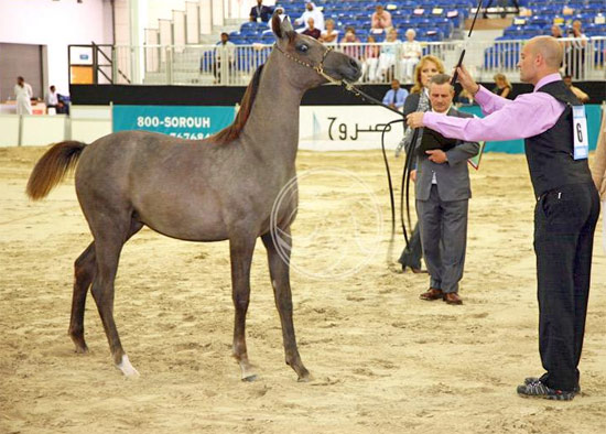 The arabian horse show is one of the most popular features of ADIHEX.