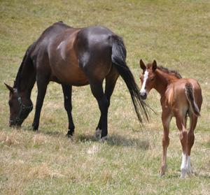 tb-foal-crop