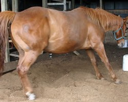 Laminitis and founder