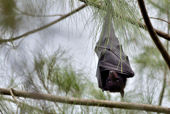 Black Flying Fox (Pteropus alecto) at rest, in Brisbane, Queensland.