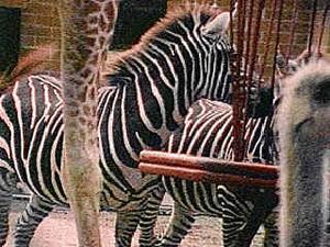 zebra-circus