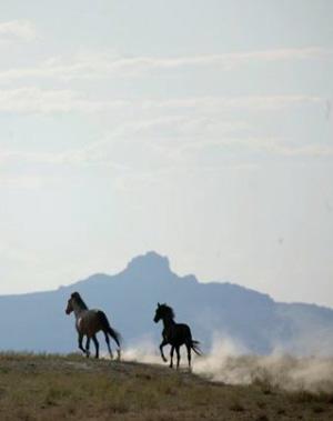 Wild horses running free.
