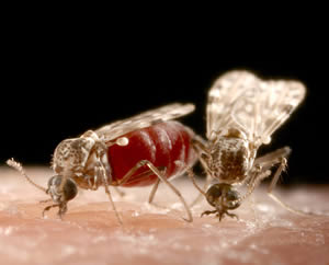 Culicoides midges are behind insect-bite hypersensitivity.