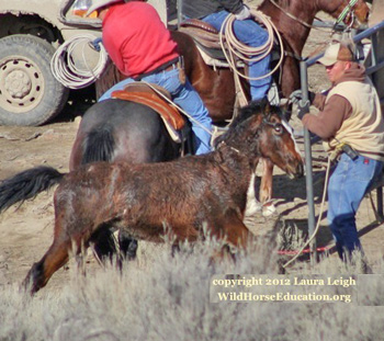 A wild foal being roped during a roundup.