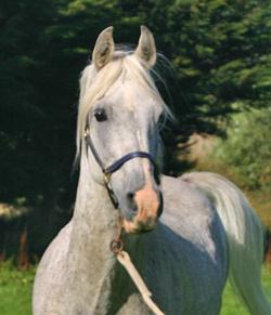 horse-stock