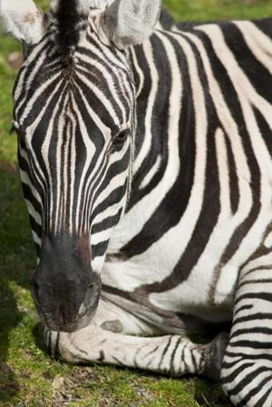 citation-zebra3