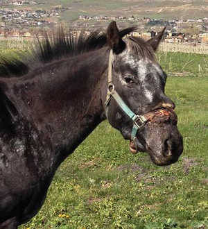 It is hoped that the horse who was found with a halter embedded in his head can be saved.