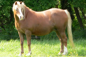 British horse owners may have trouble identifying overweight horses by appearance alone. Photo: Redwings