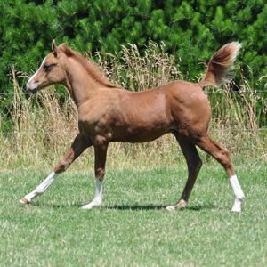 arabian-foal-stock