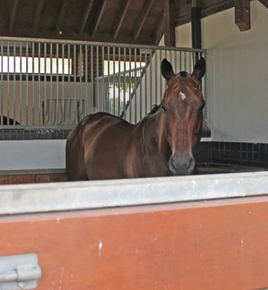 stock-horse-1142