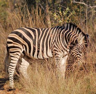 zebra-lewis_0178