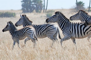 zebras_feat