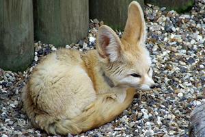 fox-feat