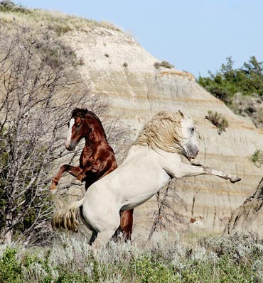 Horses in Theodore Roosevelt National Park.