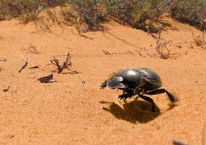 dung-beetle-featured