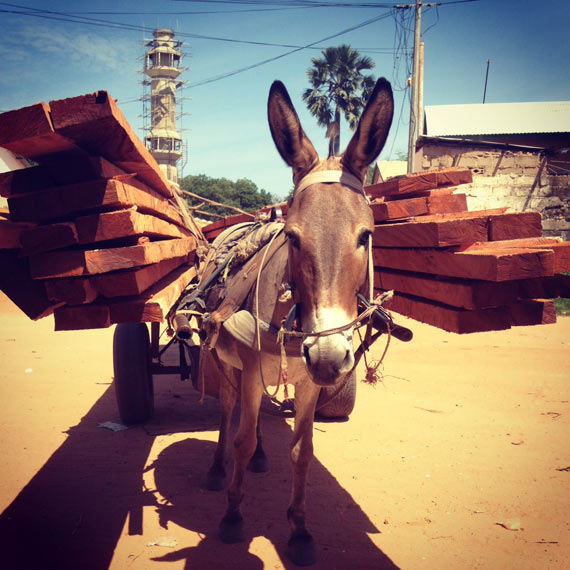 A working donkey in Gambia with a load of wood.