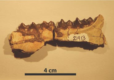 Jawbone fossil of the early horse Hyracotherium, collected in the Bighorn Basin region of Wyoming. Researchers found that Hyracotherium body size decreased 19 percent during a global warming event about 53 million years ago. Photo: Abigail D'Ambrosia, University of New Hampshire.