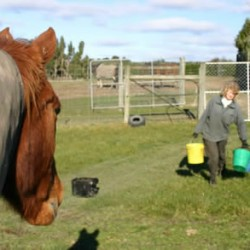 Alfalfa in diet failed to reduce stomach ulcers in weanling horses