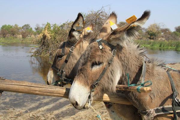 donkey-tags-botswana-2