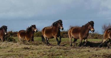 exmoor-ponies