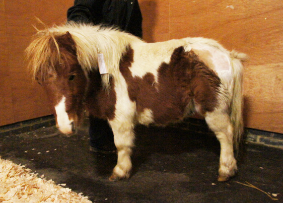 Hamish required surgery on his fractured pelvis. Photo: The Horse Trust