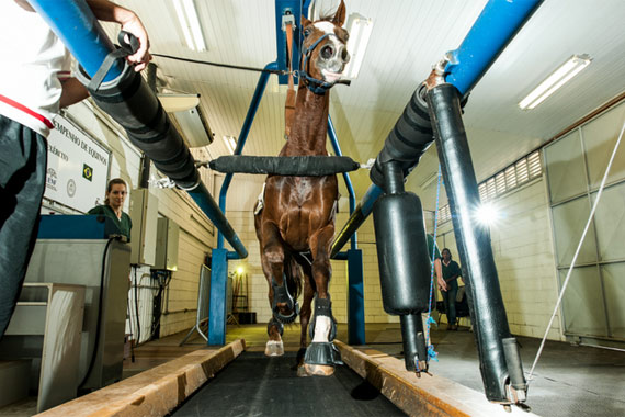 Horses can gallop at up to 54km per hour on the treadmill in the laboratory at the National Equestrian Centre