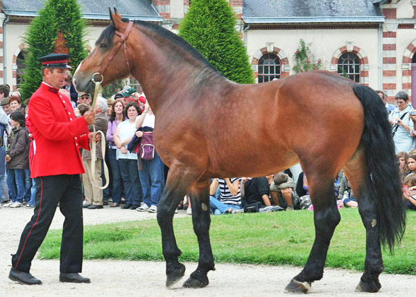 A Norman Cob stallion at the National Stud of Saint-Lô.