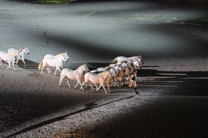 Lorenzo leads his white horses