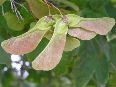 Sycamore seeds can prove deadly to horses at certain times of the year.