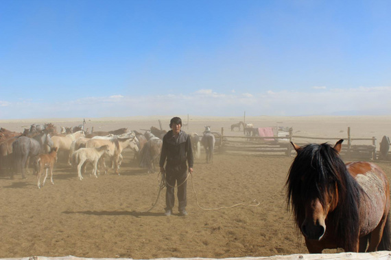 A man catches a domestic Mongolian horse in Khomiin Tal, Mongolia.